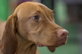 When Do Vizslas Shed Their Puppy Coat vizsla dog breed information and pictures