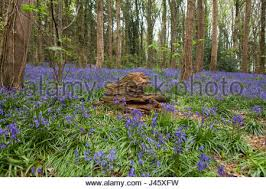 Carpet Northern Ireland by Deep Blue Carpet Of Bluebells Hyacinthoides Non Scripta