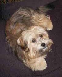 My Lhasa Apso Is Shedding Hair by Yorkie Apso Dog Breed Information And Pictures