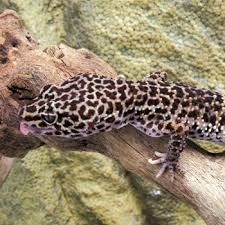 Crested Gecko Shedding Help by Leopard Gecko Shedding Concerns Retained Eyelid Lining