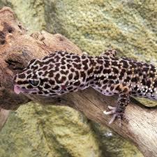 Crested Gecko Shedding Behavior by Leopard Gecko Shedding Concerns Retained Eyelid Lining