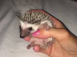 pygmy hedgehogs for sale in preston buy sell rehome rodents