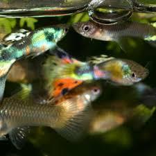 poisson eau douce aquarium tropical les maladies bactériennes des poissons d eau douce les maladies