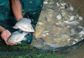 Many Ghanaians Would Like To Be Able Grow The GIFT Strain Of Tilapia