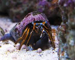 Halloween Hermit Crab Care by Hawaiian Hermit Crab Care Information And Ideas Ron Jacobs Hawaii