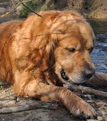 Do All Dogs Shed Their Fur by 7 Tips To Reduce Golden Retriever Shedding The Golden Retriever