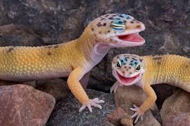 Do Leopard Geckos Shed by Leopard Gecko Eye Problem