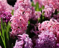 how to hyacinth bulbs for indoor flowers longfield gardens