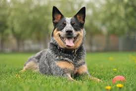 Small Dogs That Dont Shed Uk by 35 Best Medium Sized Dog Breeds List Of Popular Cute Medium