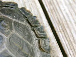 28 turtle shell not shedding properly red eared slider