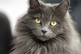 haired cat hair or hair which cat breeds do you prefer catster