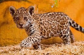 Coolest jaguar cat OO2