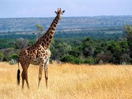 West African Giraffe Facts