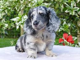 Do Long Haired Chiweenies Shed by Best 25 Blue Dapple Dachshund Ideas On Pinterest Daushund