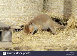 European Red Fox (Vulpes Vulpes), Cub Hunting Mice In Barn, Hessen ... Usda Studying Iowa Rodents For Avian Flu Public Radio Subtle Elegancebarn Owl Canvas Print Art By Catherine Dubuque County Part Of Barn Owl Boom As Orphaned Owlets Find Home J Thaddeus Ozarks Cookie Jars And Other Larks Love These Meeces Deer Mice Mouse Control Rats New York Stock Photos Images Alamy Barn Cat Traing To Hunt Mice Youtube Tyto Alba Family Tytonidae Parent Bird Bring Its Removal Houston Dallas Fworth 911 Wildlife