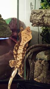 Extreme Halloween Crested Gecko by 2 X Female Crested Gecko Amazing Setup Bromley Kent Pets4homes