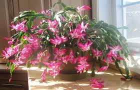 Types Of Christmas Trees To Plant by Schlumbergera Wikipedia