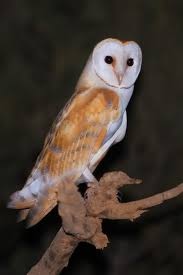 Birds Of The Arabian Night | BirdLife White And Brown Barn Owl Free Image Peakpx Sd Falconry Barn Owl Box Tips Encouraging Owls To Nest Habitat Diet Reproduction Reptile Park Centre Stock Photos Images Alamy Bird Of Prey Tyto Alba Video Footage Videoblocks Barn Owl Tyto A Heart Shaped Face Buff Back Wings Bisham Group Bird Of Prey Clipart Pencil In Color British Struggle Adapt Modern Life Birdguides Beautiful Owls Pulborough Brooks The