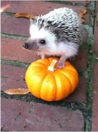 Porcupine Eats Pumpkin by Hedge O Ween 2012 Carolina Storm Hedgehogs