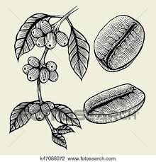 Clipart Of Coffee Plant Branch K47088072