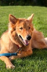 Non Shedding Husky Cross by Goberian Dog Breed Everything About Golden Retriever Husky Mix