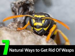 best 25 wasp deterrent ideas on ant remedies house