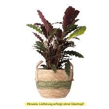 zimmerpflanze calathea rufibarba ohne übertopf calathea rufibarba grün 17x70