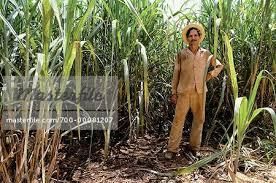 Portrait Of Sugar Cane Farmer In Field Cuba