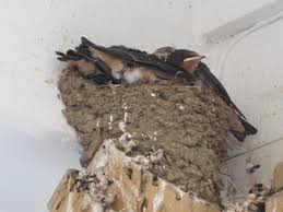 Waterville Valley: Long-time Summer Home…of Swallows | Waterville ... Bird Nest Idenfication Identify Nests How To Get Rid Of Swallows Best 25 Barn Swallow Ideas On Pinterest Pretty Birds Blue Bird Tree Have Returned From Migration To In Gourds Stained Glass Window March 2017 Cis Corner F June 2012 Nextdoor Nature Stparks Roosting For The Love Birds Easy Tips Attract Swifts And Martins True Life With God Hard Swallow Avian Explorer Blog Archive Babies Cottage Country Reflections Darou Farm Site Demolition Is Hold