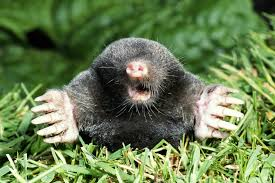 What Is A Vole As Compared To A Mole? How To Get Rid Of Moles Organic Gardening Blog Cat Captures Mole In My Neighbors Backyard Youtube Animal Wikipedia Identify And In The Garden Or Yard Daily Home Renovation Tips Vs The Part 1 Damaging Our Lawn When Are Most Active Dec 2017 Uerstanding Their Behavior Mole Gassing Pests Get Correct Remedy Liftyles Sonic Molechaser Alinum Covers 11250 Sq Ft Model 7900
