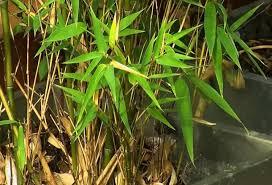 plantation du bambou nain