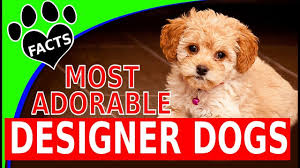 Cavapoos Do They Shed by Today U0027s Most Adorable Designer Dog Breeds Popular Cutest Dogs 101