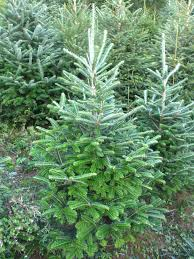10ft Christmas Tree Canada by Fraser Fir Pinewood Christmas Trees