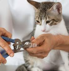 how to cut a cats nails a brief guide on how to cut cat nails with human clippers