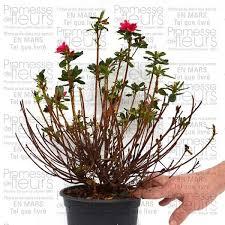 azalée du japon hino crimson azalea japonica rhododendron