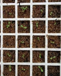100 Seedling Truck Lettuce S Lettuce Seedling Seedlings Farmher