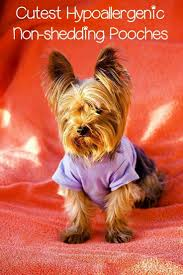 Non Shedding Small Dogs Uk by 2951 Best Dog Breeds Images On Pinterest Dog Breeds Dog