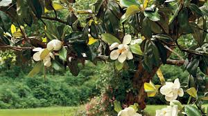 Christmas Tree Species Name by The Complete Guide To Magnolia Trees Southern Living