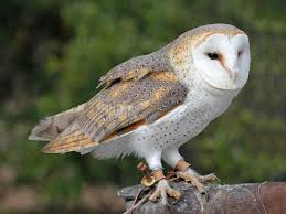 Birds Of The World: OWLS Barn Owl Facts About Owls The Rspb Bto Bird Ring Demog Blog October 2014 Chouette Effraie Lechuza Bonita Sbastien Peguillou Owl Free Image Peakpx Wikipedia Barn One Wallpaper Online Galapagos Quasarex Expeditions Hungry Project Home Facebook Free Images Nature White Night Animal Wildlife Wild Hearing Phomenal Of Nocturnal Wildlife Animal Images Imaiges