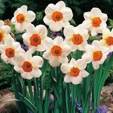 buy cheap daffodil bulbs cheap daffodil bulbs for sale