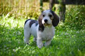 Shed Free Dogs Pictures by Petit Basset Griffon Vendeen Dog Breed Information Pictures