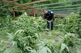 comment sortir les plantes de cannabis en extrieur du pour