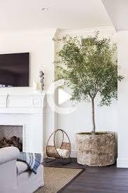 pflanze des jahres indoor olivenbaum du schwellst an