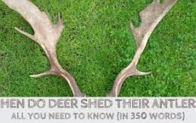 Deer Antler Shedding Cycle by Deer Antler Facts Outdoorstack