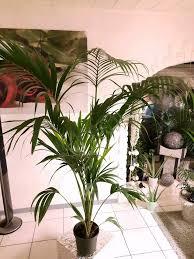 kentia palme howea forsteriana zimmerpalme