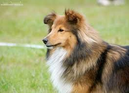 1336 best dogs my love for shetland sheepdogs shelties images