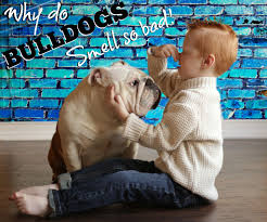 Dogs That Dont Shed And Smell by Why Does My Bulldog Smell
