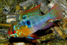 poisson eau douce aquarium tropical les poissons d aquarium d eau douce poisson naturel