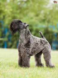 Large Dogs That Dont Shed Fur by 4 Gorgeous Breeds Of Curly Coated Dogs Pets4homes