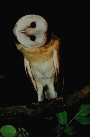 21 Best Lechuzas Images On Pinterest | Barn Owls, Snowy Owl And ... Amazing Barn Owl Nocturnal Facts About Wild Animals Barn Owl By David Cooke For Sale The Sculpture Parkcom Rhodium Comes To Canada With Its Striking New Nocturnal Nature Flying Wallpapersbirds Unique Hd Wallpapers Owls In Kuala Lumpur Bird Park Stock Photo Image 87325150 Biocontrol View Common In Malaysia Sekinchan Paddy Field Youtube Another Blog Farmers Friend Bear With Him Girl Mom Birds Of World Owls